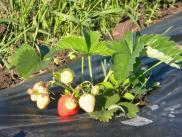 esimene maasikas 2012