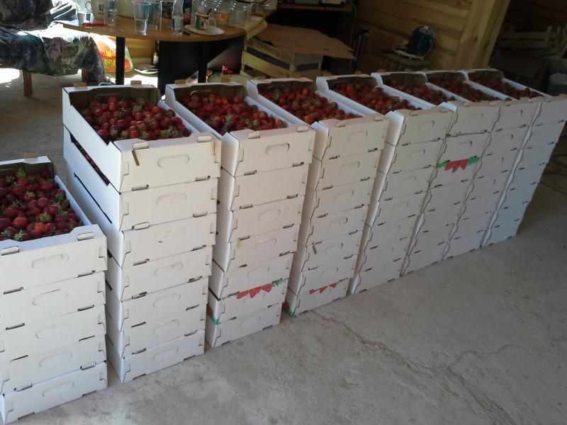 Maasikavirn läks suunaga Tallinna maasikasõbrade juurde